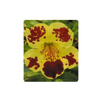 Окинава Yellow Blotch семена губастика крупноцветкого дражированные (Kitano Seeds)