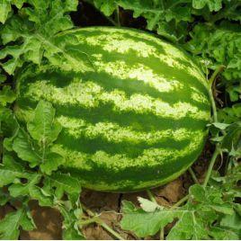 Кримсон Свит семена арбуза раннего 67-82 дн. (Гавриш) НЕТ ТОВАРА
