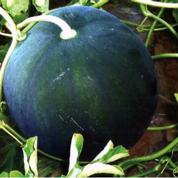 Огонек семена арбуза (Украина)