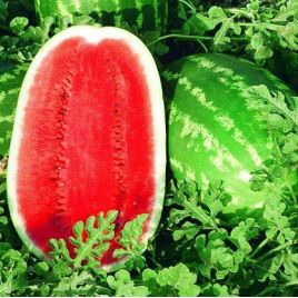 Триумф F1 семена арбуза тип Кримсон Свит (SAIS)