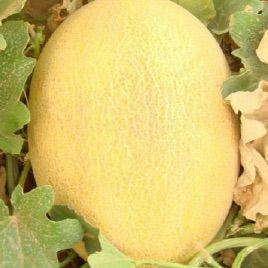 Алтын F1 семена дыни тип Ананас (Гавриш)