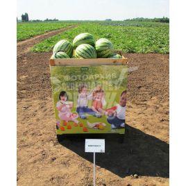 Бостон F1 семена арбуза бессемянного раннего 65-68 дней 5-9 кг окр. (Nunhems)