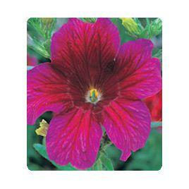 Либра Purple семена сальпиглоссиса дражированные (Kitano Seeds)