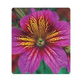 Либра Purple Bicolour семена сальпиглоссиса дражированные (Kitano Seeds)