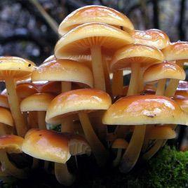 Опенок зимний мицелий на палочках (Украина)