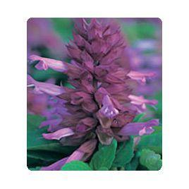 Оливер Lavender семена сальвии блестящей (Kitano Seeds)