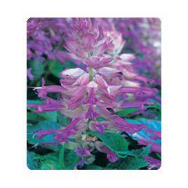 Оливер Lilac Bicolour семена сальвии блестящей (Kitano Seeds)