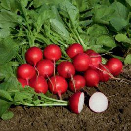 Гранат семена редиса (Semo)