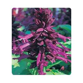 Оливер Purple семена сальвии блестящей (Kitano Seeds) НЕТ ТОВАРА
