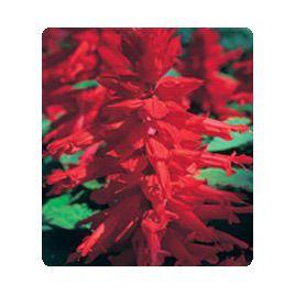 Оливер Red семена сальвии блестящей (Kitano Seeds)