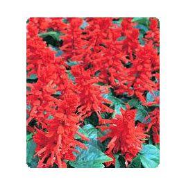 Хитоми Red семена сальвии блестящей (Kitano Seeds) НЕТ ТОВАРА