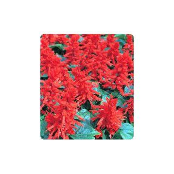 Хитоми Red семена сальвии блестящей (Kitano Seeds)