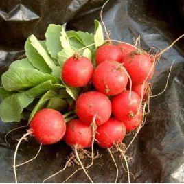 Селеста F1 семена редиса (калибр 3-325 мм) (Enza Zaden)