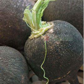 Черная (Мужинка) семена редиса (Элитный ряд)