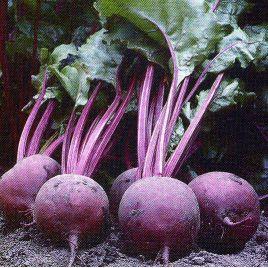 Детройт семена свеклы столовой (Servise plus (GSN)