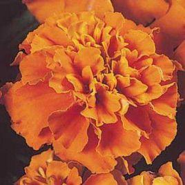 Жани оранжевые семена бархатцев (Pan American)