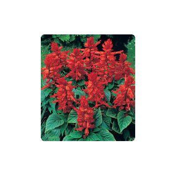 Сильва Hot Red семена сальвии блестящей (Kitano Seeds)