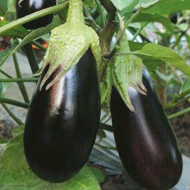Бернар F1 семена баклажана среднего 120 дн. 250-300 гр. 12-20 см удл.цил. (Гавриш) НЕТ СЕМЯН