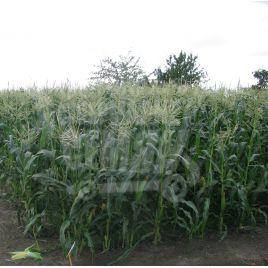 Трофи F1 (Trophy F1) семена кукурузы суперсладкой Sh2 среднеранней 75дн. 21-23см 14-16р. (Seminis)