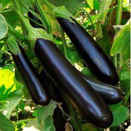 Лонг Поп семена баклажана среднего 110-130 дн. 240-450 гр. 20 см удл.-цил. (Свитязь) НЕТ ТОВАРА