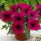 Рамблин F1 фиолетовая семена петунии каскадной (Syngenta)