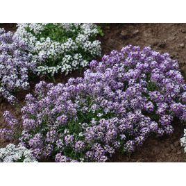 Алиссум (лобулярия, каменник) семена однол. фиолетового (Hem Zaden) НЕТ ТОВАРА