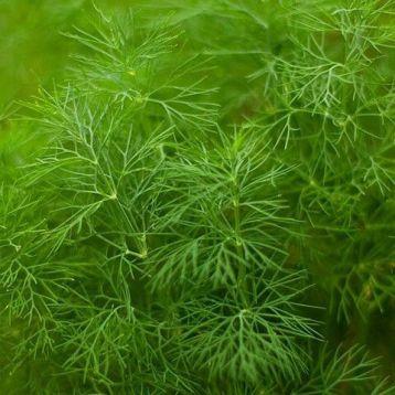 Амброзия семена укропа (Свитязь)