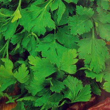 Ароматная семена петрушки листовой (Украина)