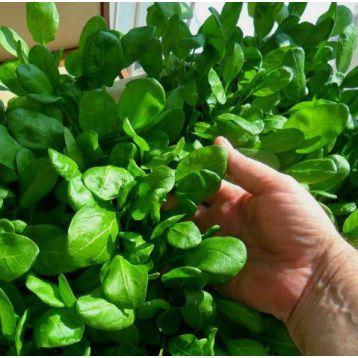 Аста F1 семена шпината (Элитный ряд)