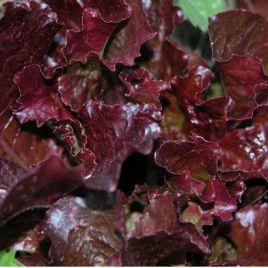 Кантарикс семена салата тип Дуболистный (Enza Zaden) НЕТ СЕМЯН