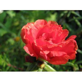 Хеппи Траилс темно-красный семена портулака (Pan American)