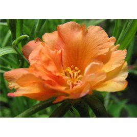 Хеппи Траилс оранжевый семена портулака (Pan American)