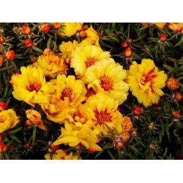 Хеппи Траилс желтый семена портулака (Pan American)