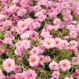 Хеппи Ауер розовый семена портулака (Pan American)