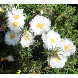 Хеппи Ауер белый семена портулака (Pan American)