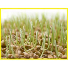 Аннушка семена сои (Украина) СНЯТО С ПРОИЗВОДСТВА