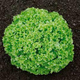 семена салата батавия грин корал