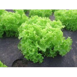 Грин Корал семена салата тип Батавия (Свитязь)