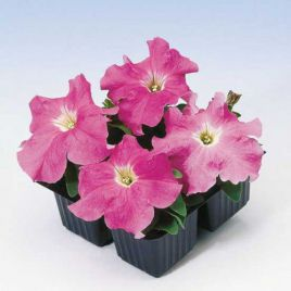 Танго F1 розовая семена петунии грандифлора (Hem Zaden ПН)