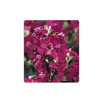 Лейла Burgundy семена маттиолы (Kitano Seeds)