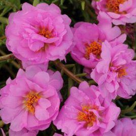 Хеппи Траилс розовый семена портулака (Pan American)