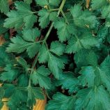 Богатырь семена петрушки листовой (Гавриш)