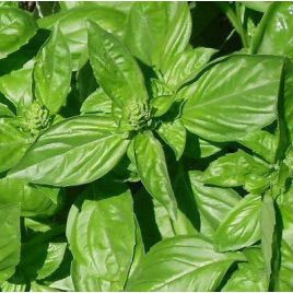 Геновезе семена базилика зеленого (Euroseed)