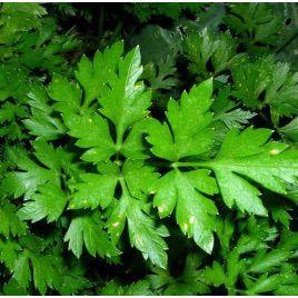 Гигант Италии семена пертушки листовой (Элитный ряд)