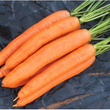 Берликумер 2 семена моркови Берликум (Свитязь)