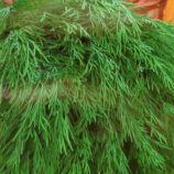 Дилл семена укропа (SAIS)