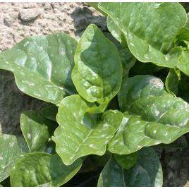 Лазио F1 семена шпината (Semo) СНЯТО С ПРОИЗВОДСТВА