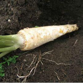 Ленка (сахарная) семена петрушки корневой (Элитный ряд)