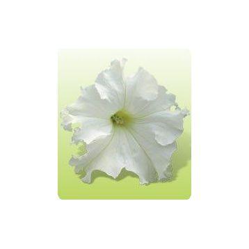 Ямамото White семена петунии крупноцветковой дражированные (Kitano Seeds)