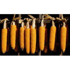 Попкорн семена кукурузы (GL Seeds)